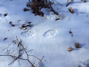 41 Acres Animal Tracks